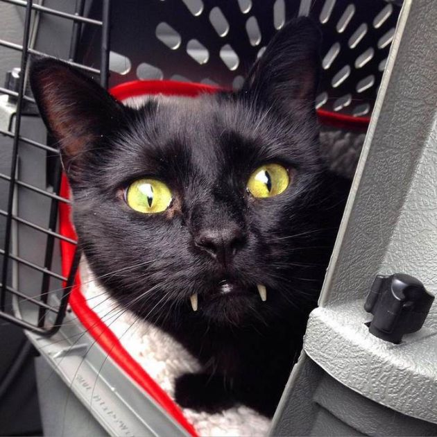 black_cat_vampire_05